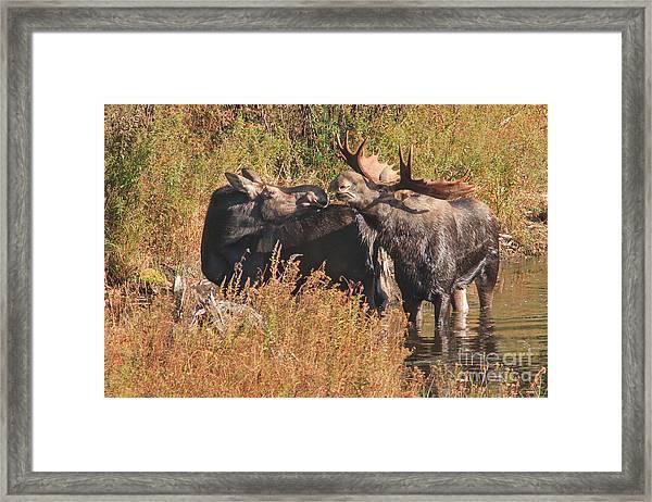 Moose Kiss Framed Print