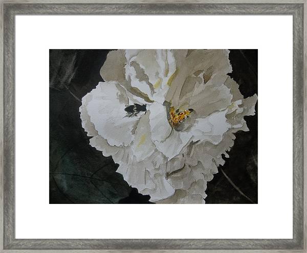 Morning Confederate Rose  Framed Print