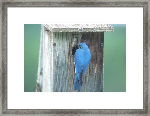 Mountain Bluebird Feeding Young Framed Print