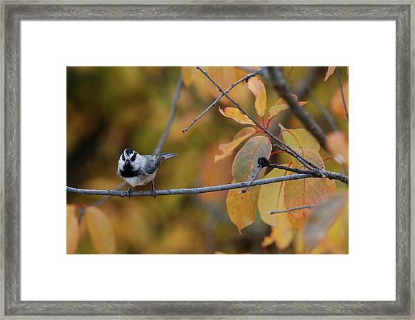 Mountain Chickadee 1 Framed Print
