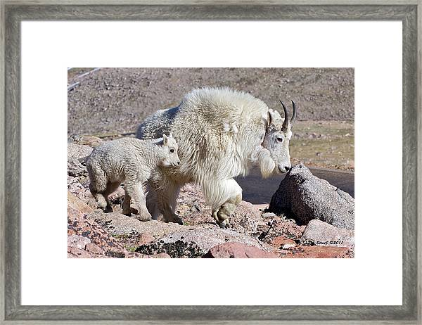 Mountain Goat Momma With Kid Framed Print