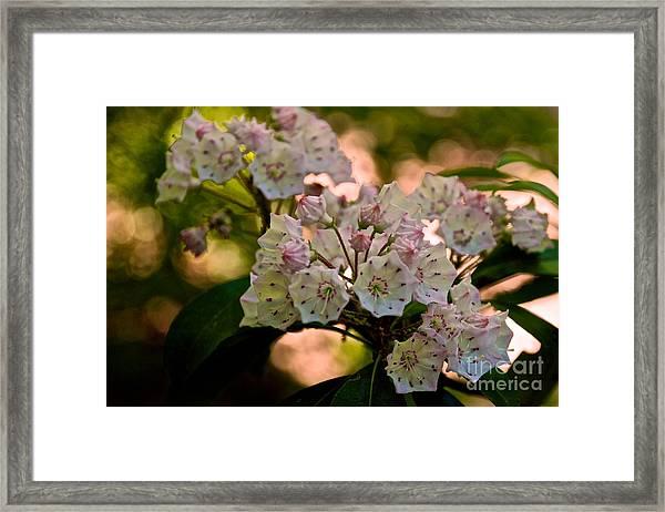 Mountain Laurel Flowers 2 Framed Print