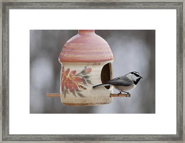 Mountian Chickadee At Feeder Framed Print