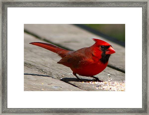Mr. Cardinal Framed Print