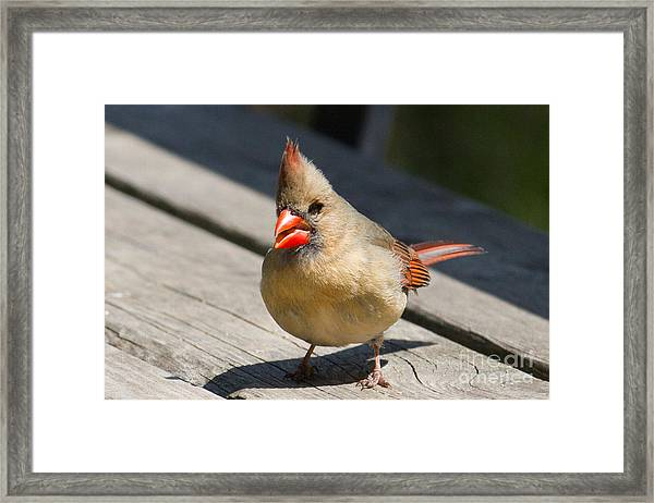 Mrs. Cardinal Framed Print