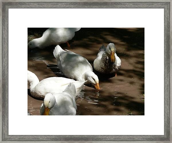 Muddy Ducks Framed Print