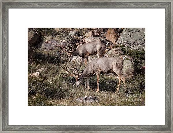 Mule Deer Bucks Framed Print