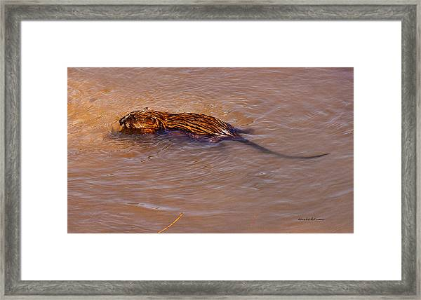 Muskrat Swiming Framed Print