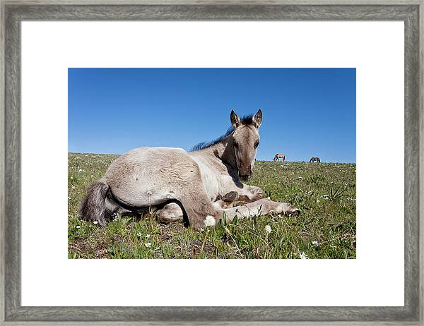 Mustang Foal Up Close Framed Print