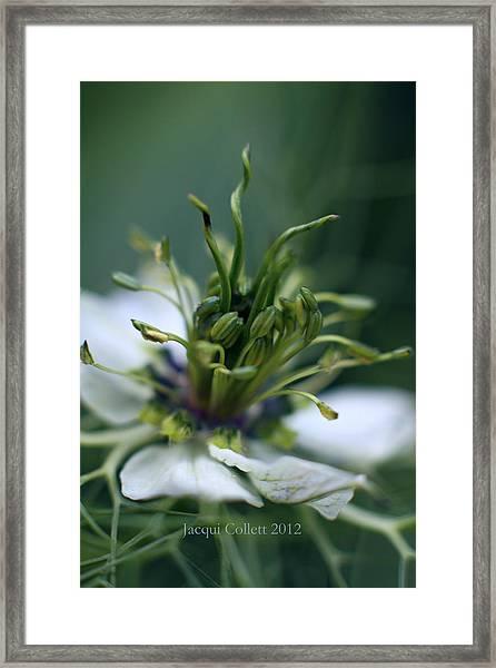Nigella Framed Print
