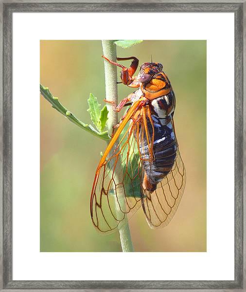 Noisy Cicada Framed Print