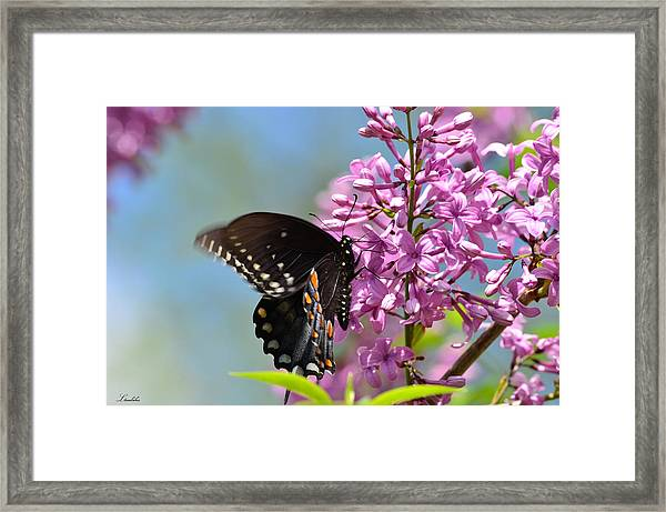 Nothing Says Spring Like Butterflies And Lilacs Framed Print