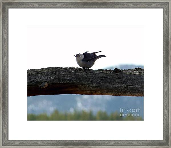 Nuthatch Framed Print