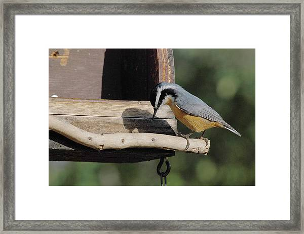 Nuthatch Opening Sunflower Seed Framed Print