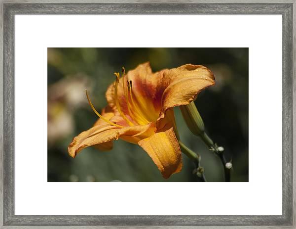Orange Day Lily Framed Print