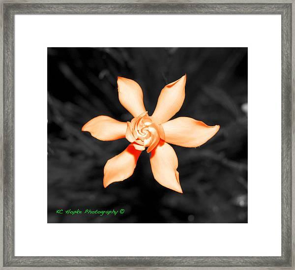 Orange Gardenia Bonsai Framed Print by Adam Hopke