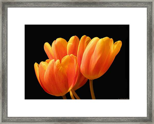 Orange Tulips On Black Framed Print