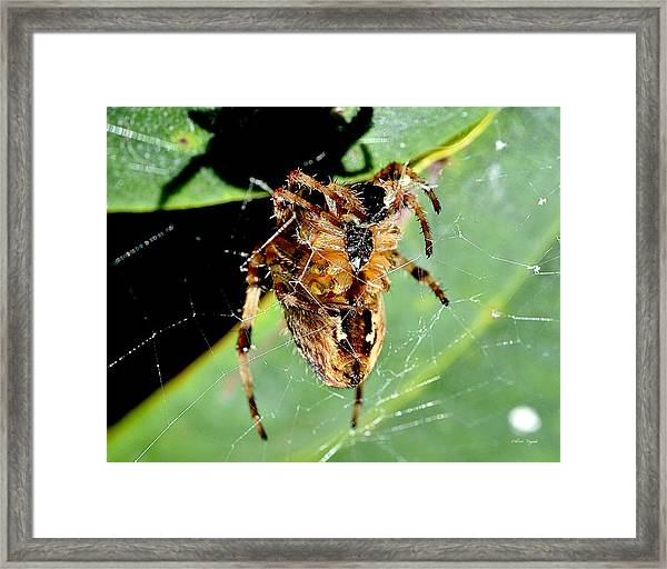 Orb Weaver Waits Framed Print