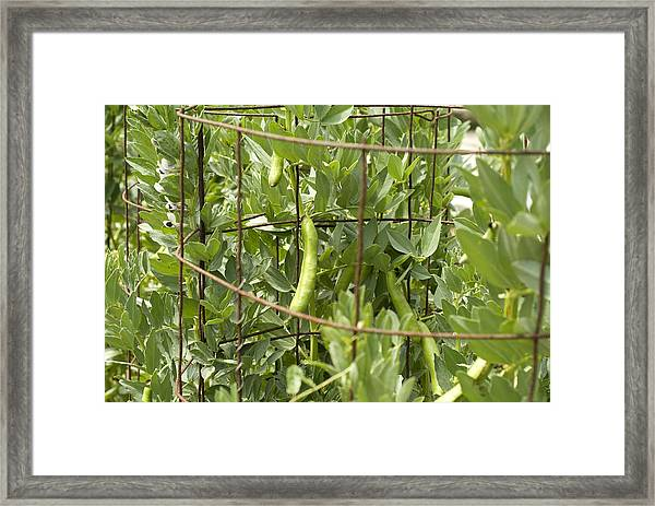 Organic String Beans Growing On Wire Cage Framed Print