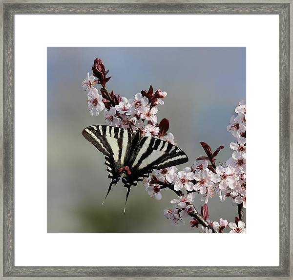 Ornamental Plum Blossoms With Zebra Swallowtail Framed Print