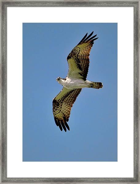 Osprey Above Framed Print