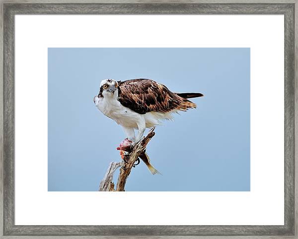 Osprey In The Morning Framed Print