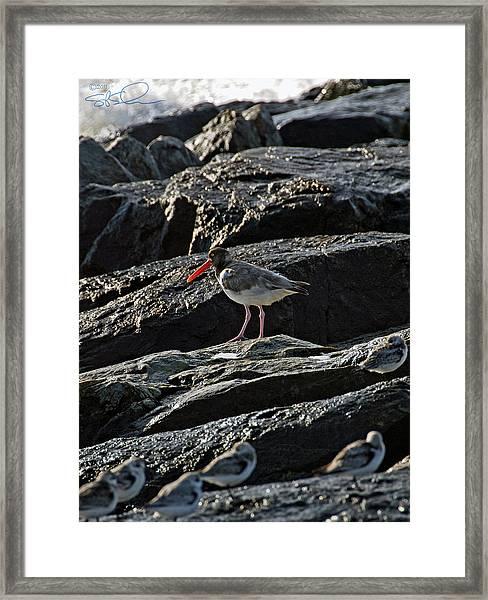 Oyster On The Rocks Framed Print