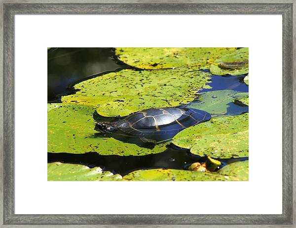 Painted Turtle On Water Lilies Framed Print