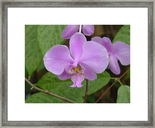 Pale Pink Orchid Framed Print