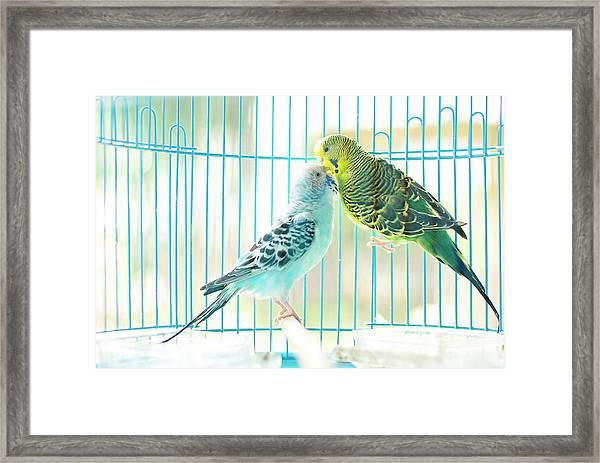 Parakeet Couple Kiss Each Other Framed Print