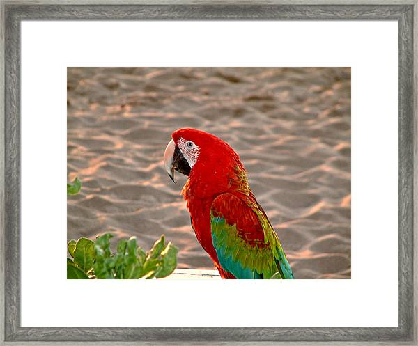 Parrot In Maui Framed Print