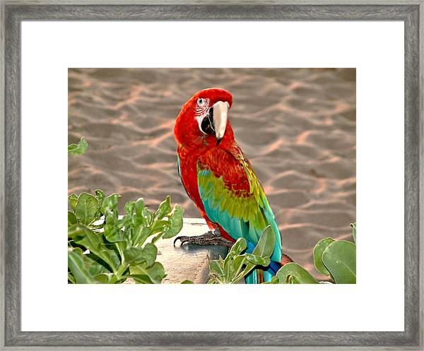 Parrot Sunning On The Beach Framed Print