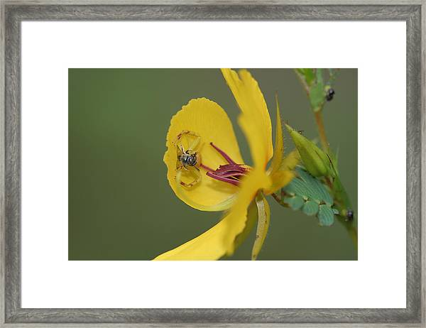 Partridge Pea And Matching Crab Spider With Prey Framed Print