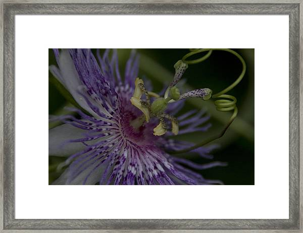 Passion Flower's Tendril Framed Print