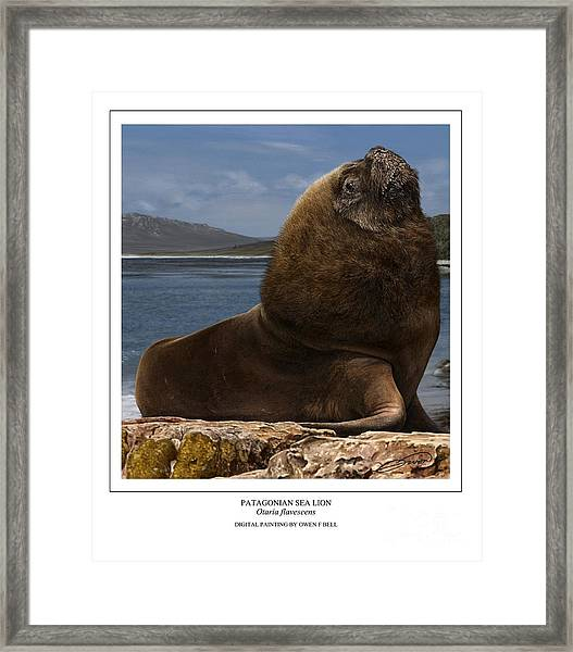 Patagonian Sea Lion Bull Framed Print by Owen Bell