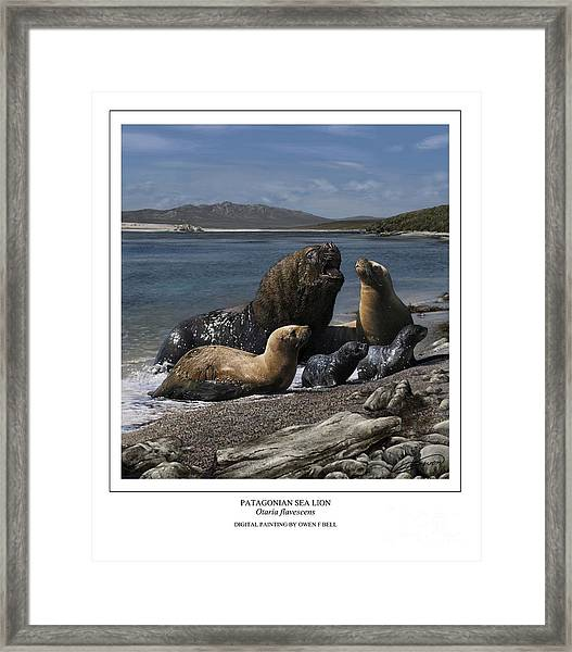 Patagonian Sea Lion Bull With Harem And Pups Framed Print by Owen Bell