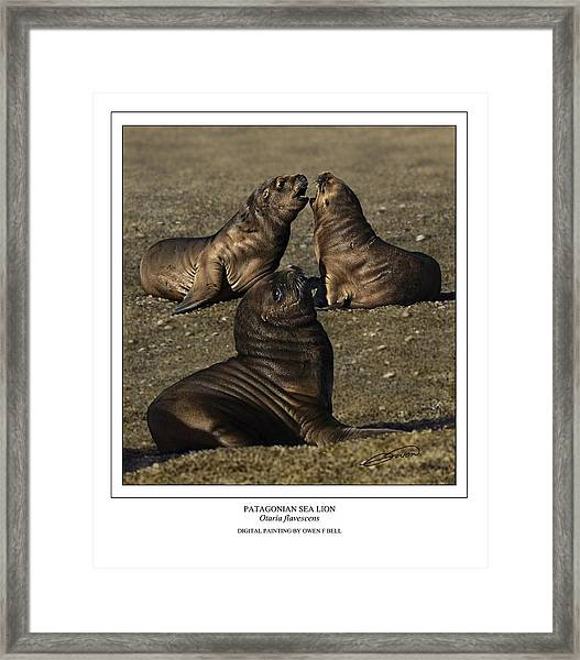 Patagonian Sea Lion Pups Framed Print by Owen Bell
