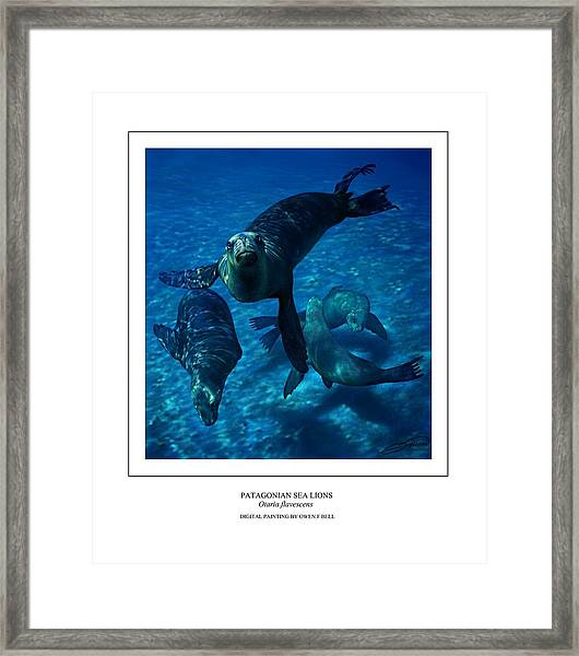 Patagonian Sea Lions Framed Print by Owen Bell
