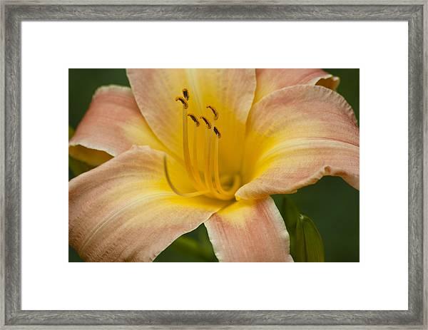 Peach Lily Framed Print