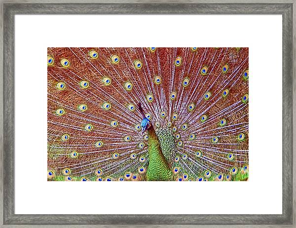 Peacock Bloom Framed Print