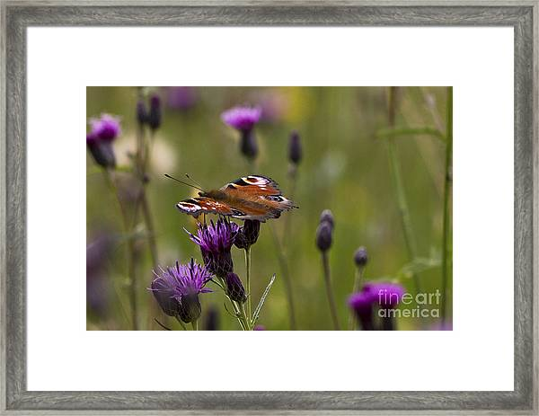 Peacock Butterfly On Knapweed Framed Print