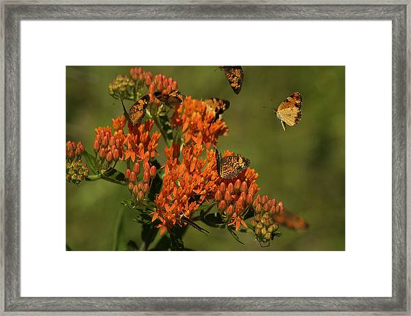 Pearly Crescentpot Butterflies Landing On Butterfly Milkweed Framed Print