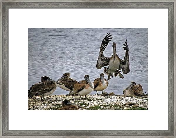 Pelican Meeting Framed Print