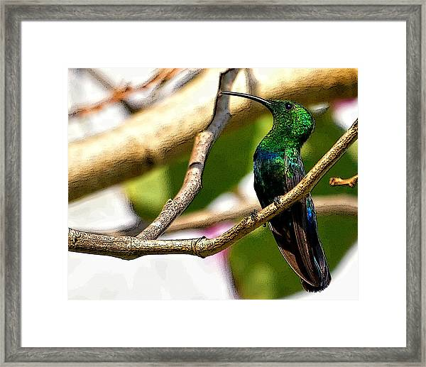 Perched Humming Bird  Framed Print