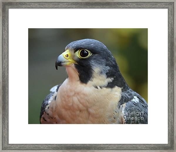 Peregrine Falcon Framed Print