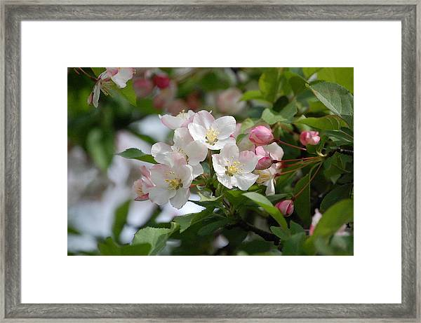 Perfect Blossoms In Portland Me Framed Print