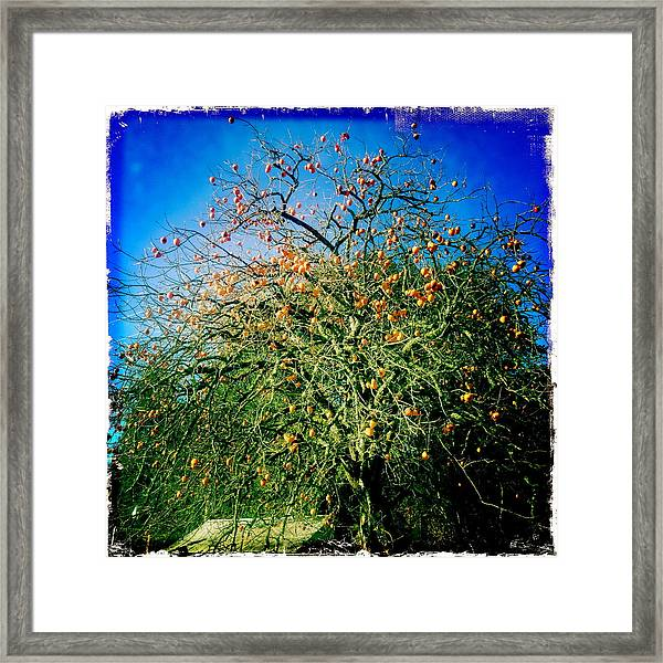 Persimmon Tree Framed Print