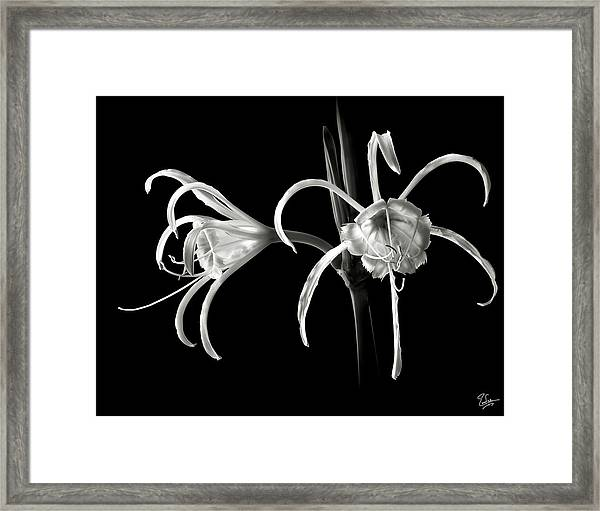 Peruvian Daffodil In Black And White Framed Print