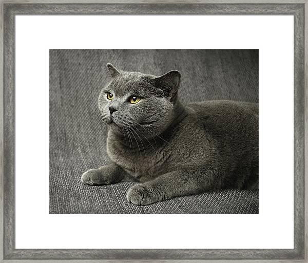 Pet Portrait Of British Shorthair Cat Framed Print