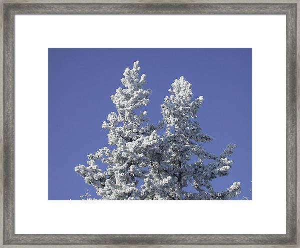 Pine Hoar Frost Framed Print
